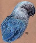 Losing Altitude - Spix's Macaw