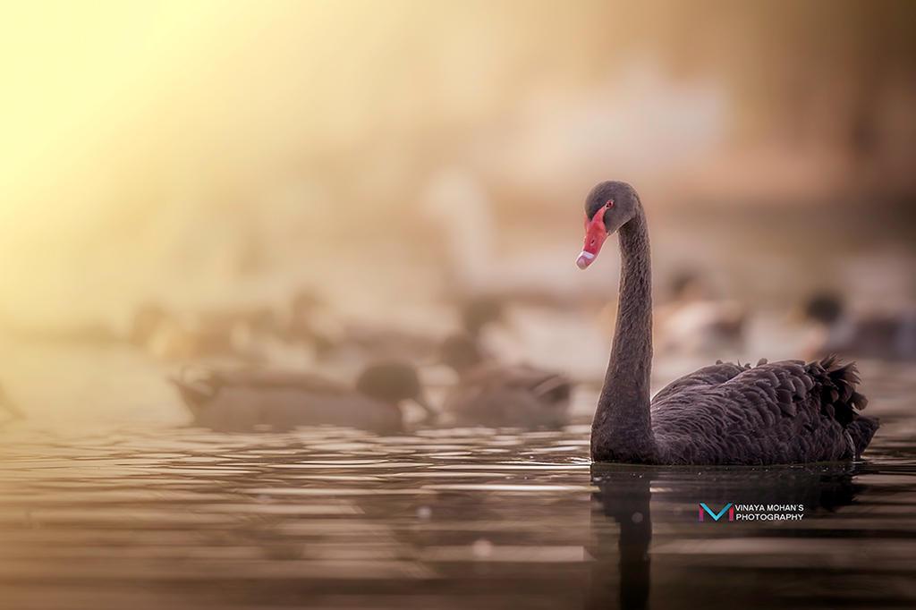 Swan by vinayan