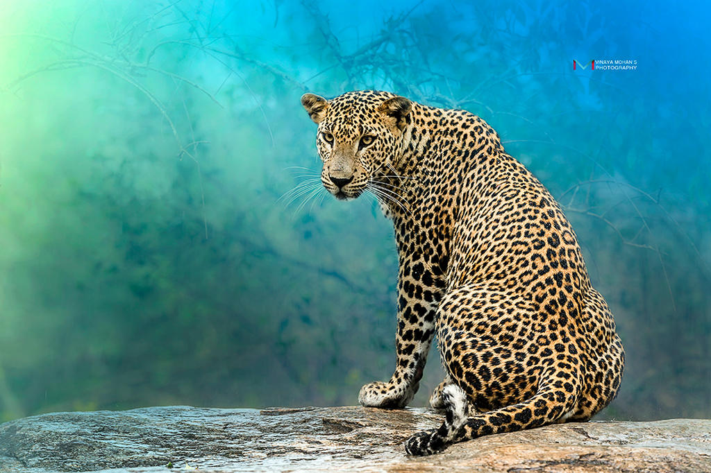 On the Rocks (Leopard) by vinayan