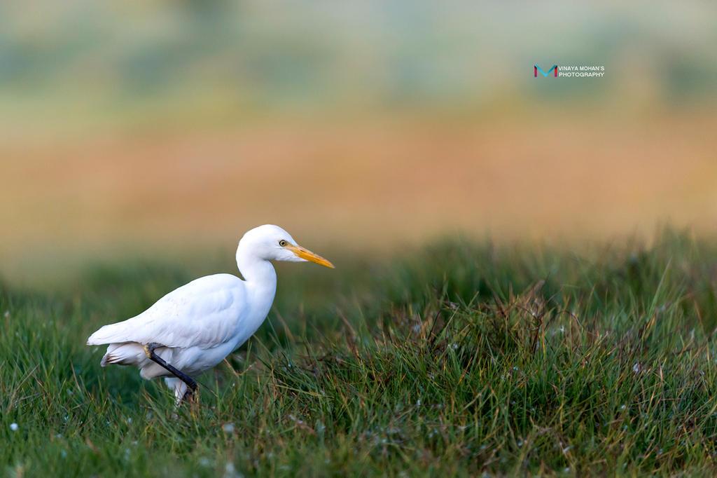 Cattle Egret by vinayan