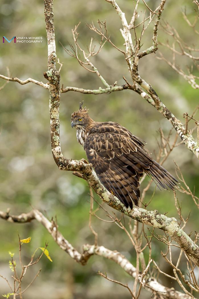Crested Hawk-Eagle by vinayan