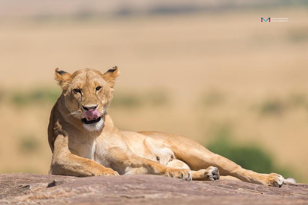 Lioness by vinayan
