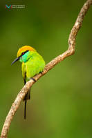 Bee eater by vinayan