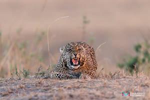 Leopard (VMA8037)