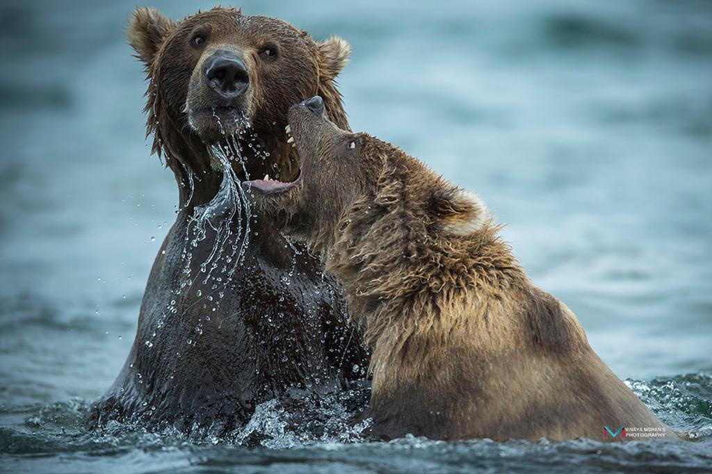 Bears Playing by vinayan