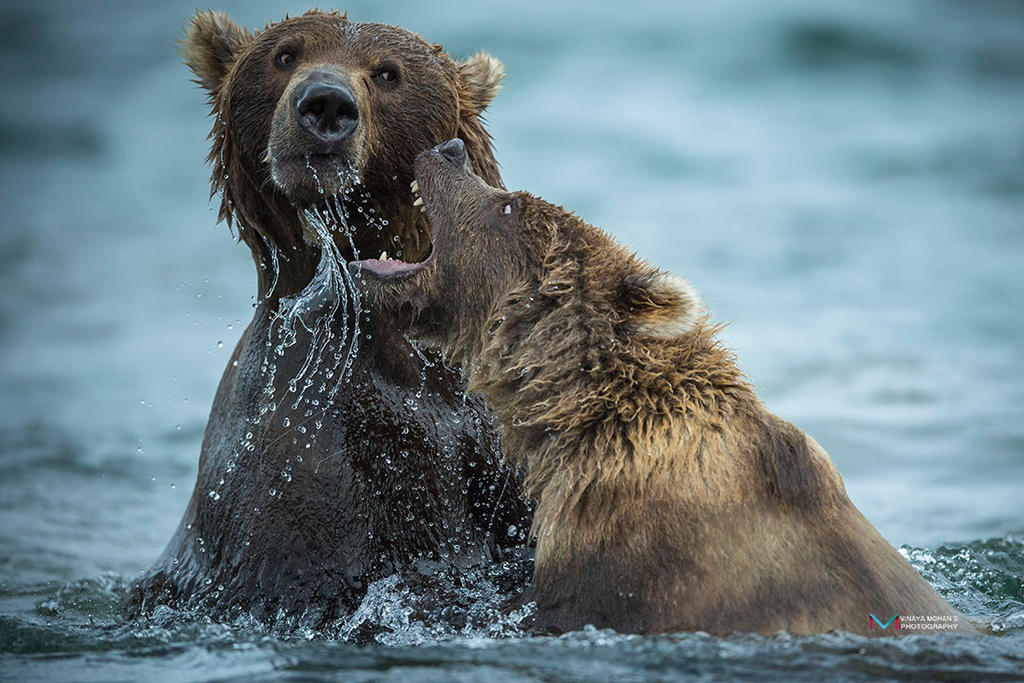 Bears Playing by vinayan