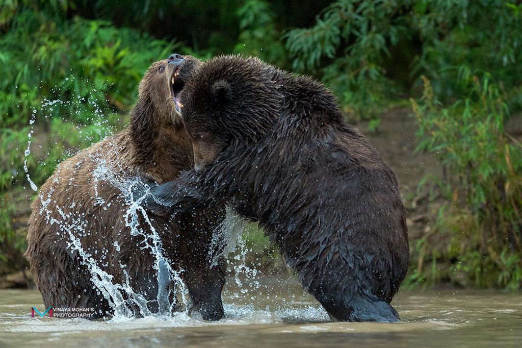 Bear Fight by vinayan