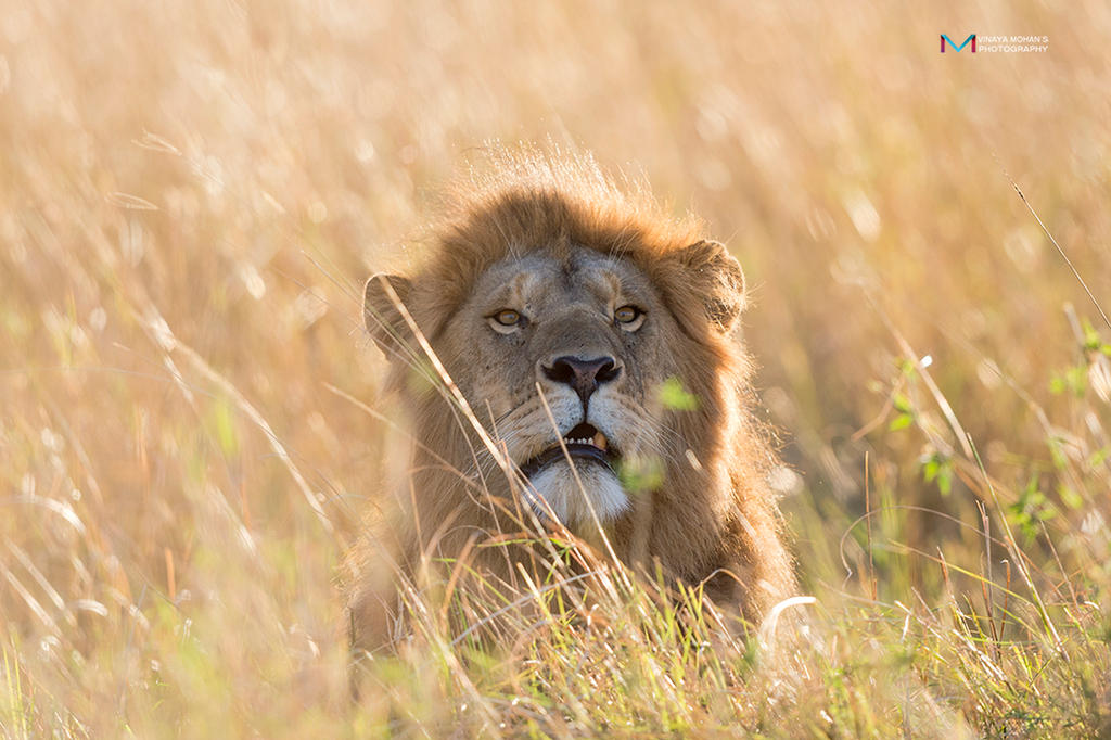 Golden Mara by vinayan