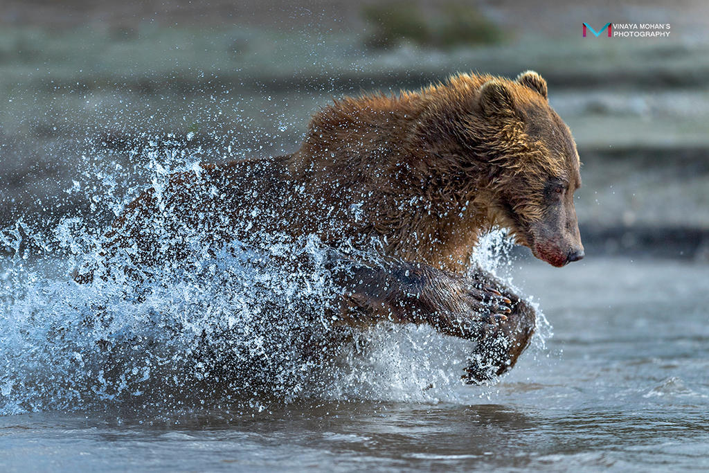 bear in action