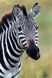 Zebra by vinayan