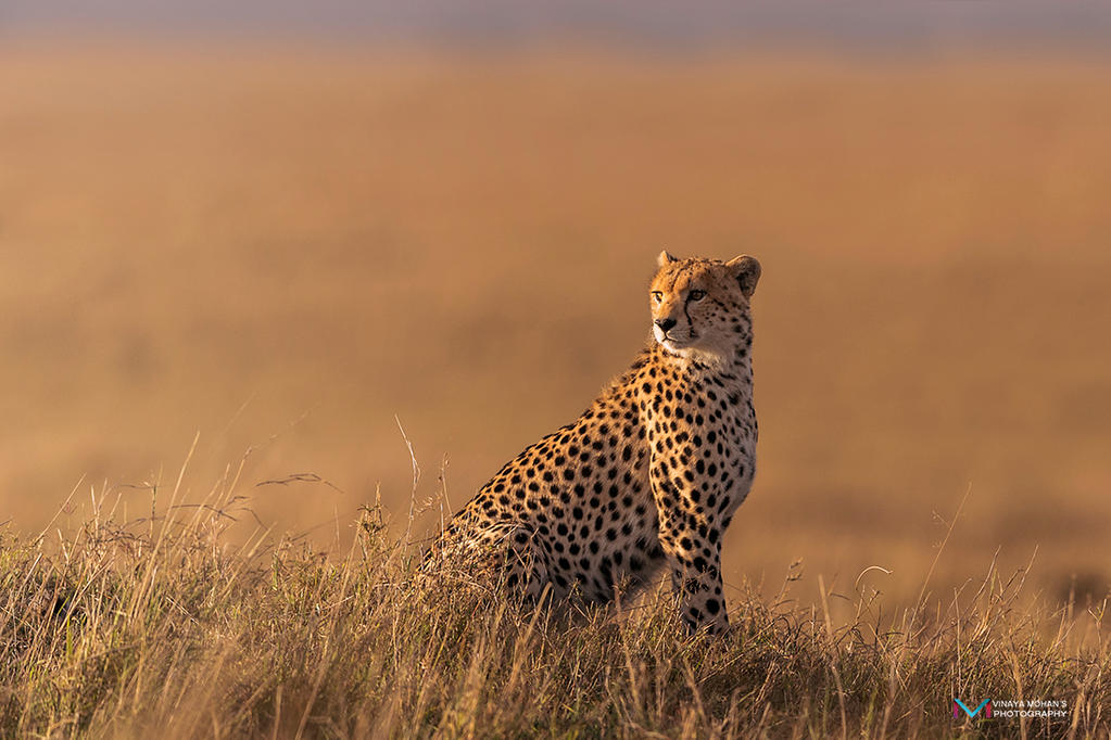 Cheetah by vinayan
