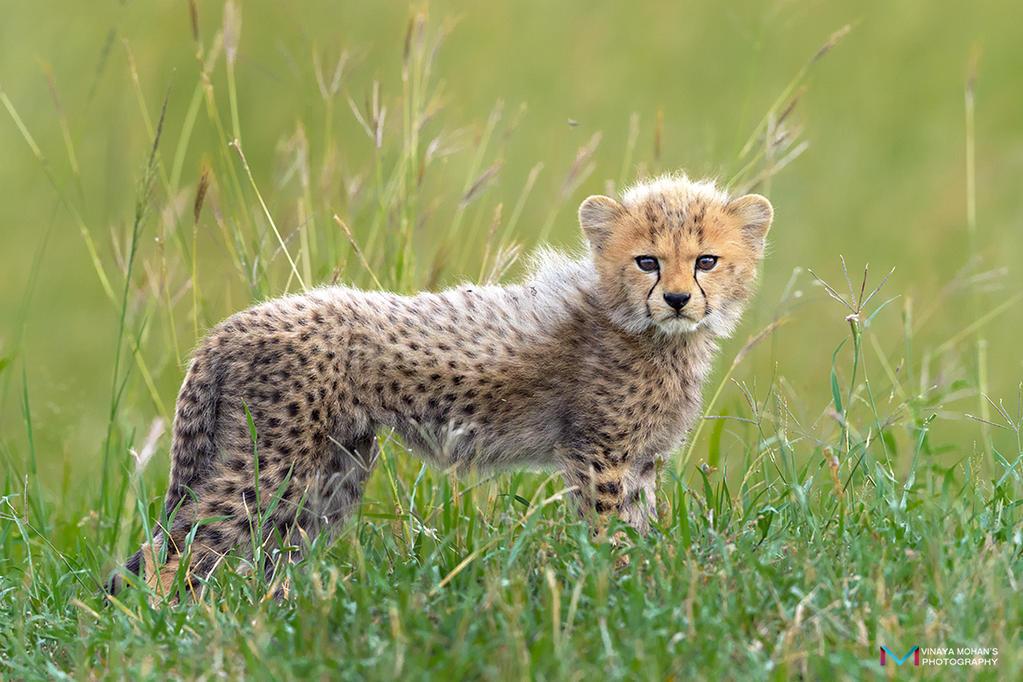 Cheetah Cub by vinayan