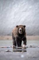 Brown Bear Cub by vinayan