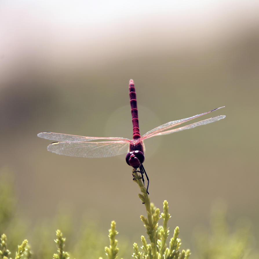 dragonfly by LOREINOFA