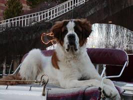 My St. Bernard by THOMASROGERS54
