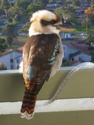 Kookaburra by kiraral192