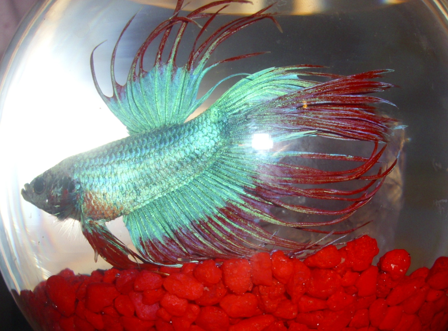 Crowntail betta fish by native feathers on deviantart for Crowntail betta fish
