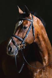 Horse Portrait (Study)