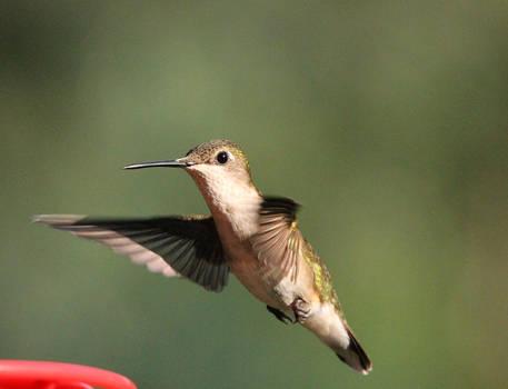Female Ruby Throated Hummingbird II 7-19-15