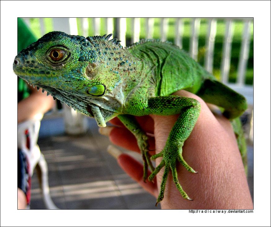 Lizard by radicalway