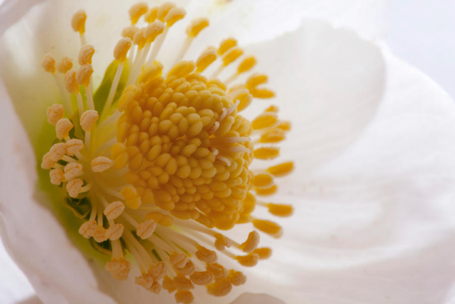 Hellebore by SarahharaS1
