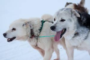 Huskies by SarahharaS1