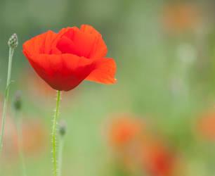 Poppy by SarahharaS1