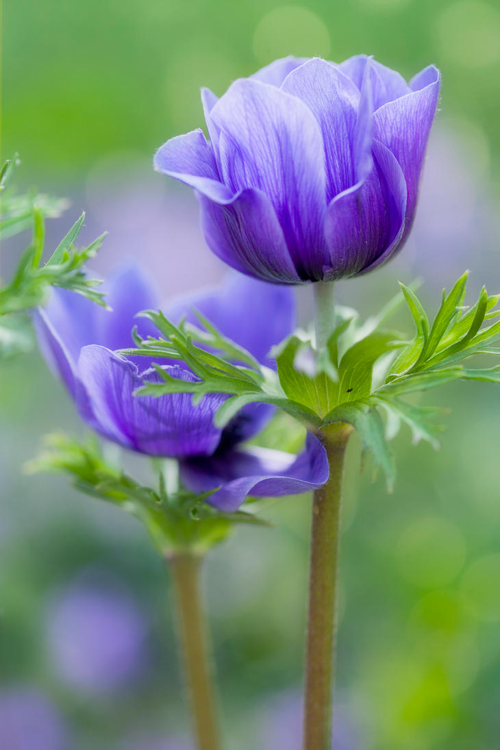 Anemone by SarahharaS1