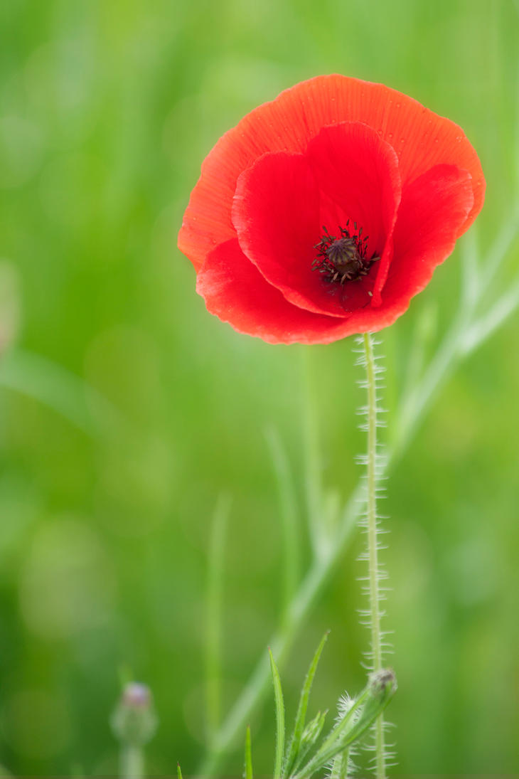 Poppy again by SarahharaS1