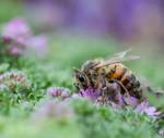 Relishing honeybee