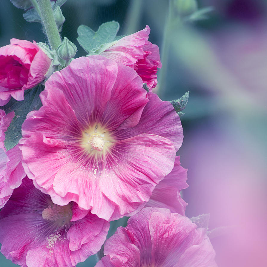 Hollyhock by SarahharaS1