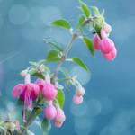 Fuchsia by SarahharaS1