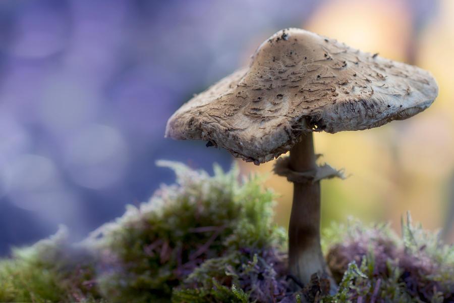 Parasol mushroom by SarahharaS1