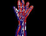 Cross Section (vector)-Hand-Cardiovascular System