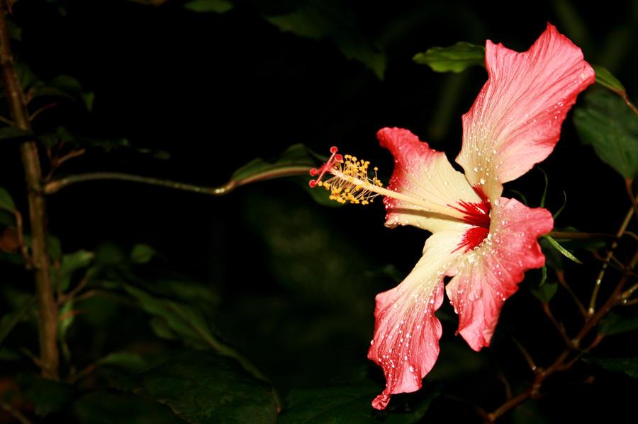 pink flower burst by AnniesASeagull