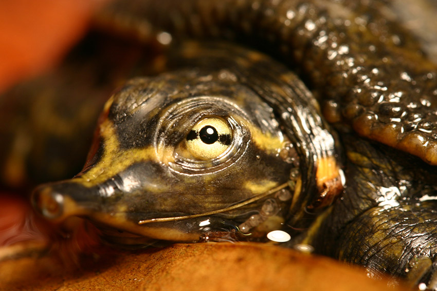 Baby Softshell Turtle 02 by 1ASP1