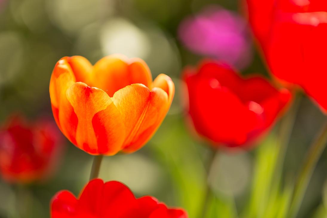 orange tulip by oxygen