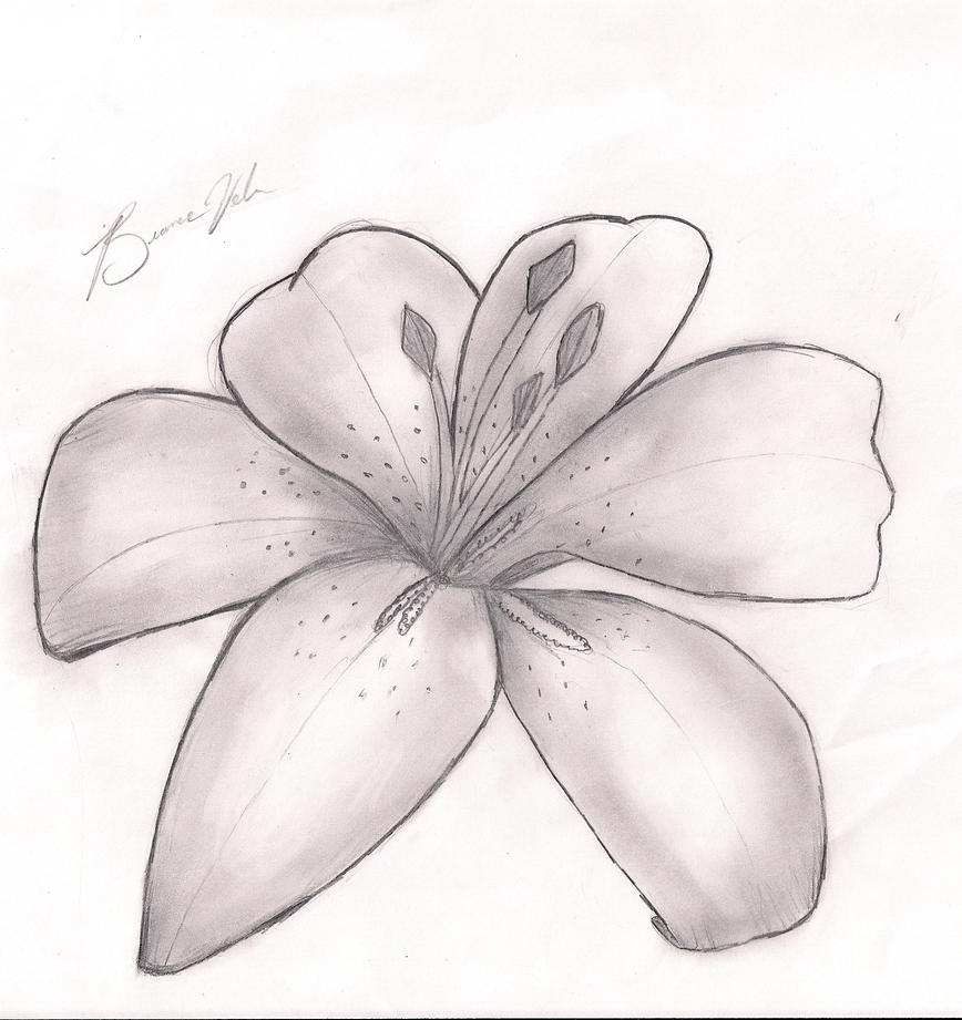 Lily Pencil Drawings Pencil Drawings