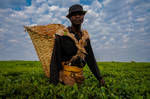 working in tea plantations by ClaraMalaussene