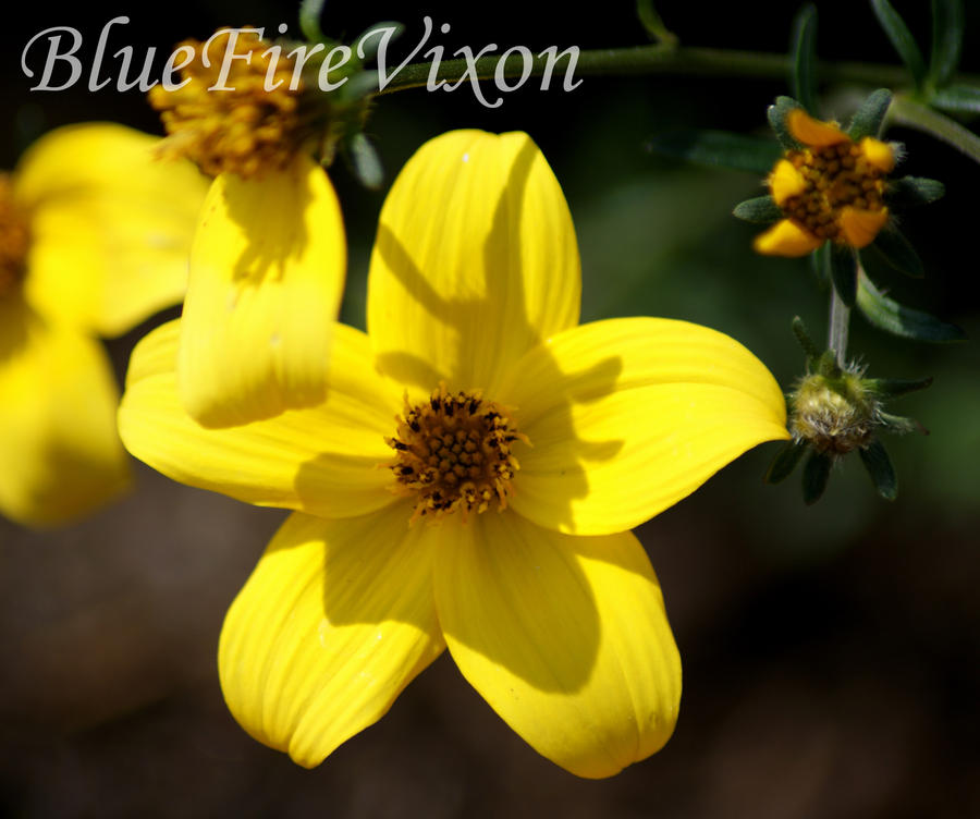 5 petal yellow flower by bluefirevixon on deviantart 5 petal yellow flower by bluefirevixon mightylinksfo Image collections