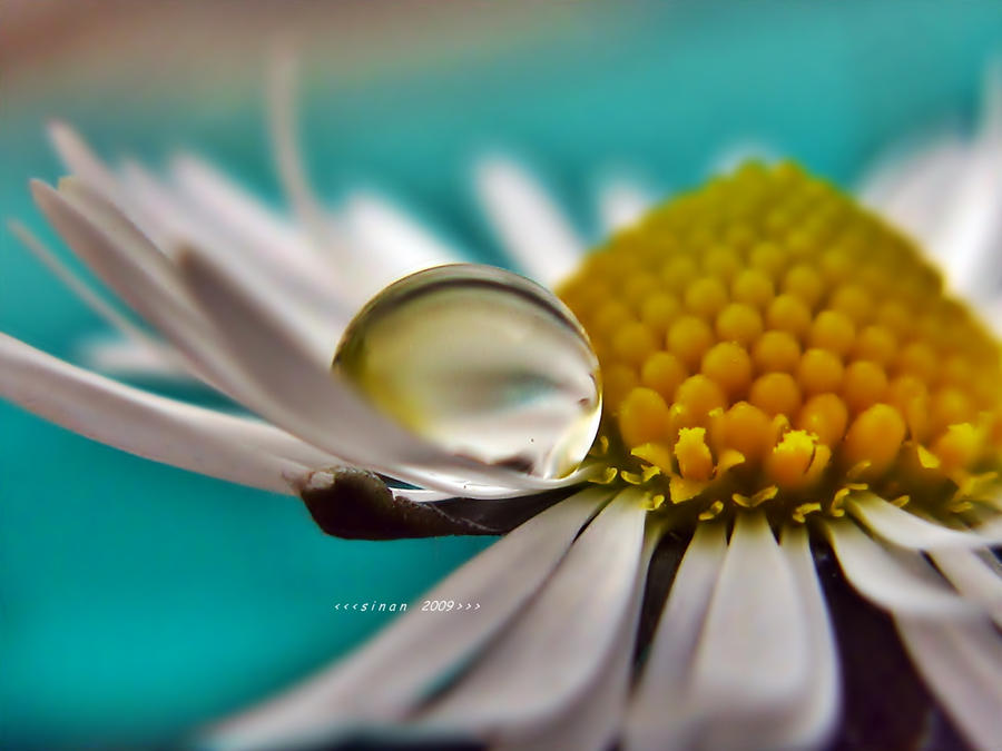 daisydrop by sinanTR