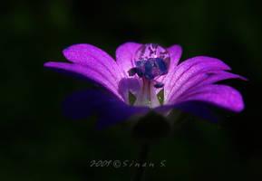 pink purple by sinanTR