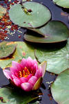 Buddhist Lotus by hkma88
