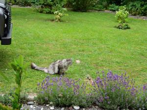 'Snow Leopard' Maine Coon