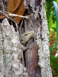 Peeking Lizard
