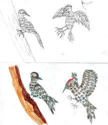 Patagonian Woodpecker (sketches)
