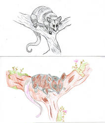 Elegant fat-tailed mouse (sketches)