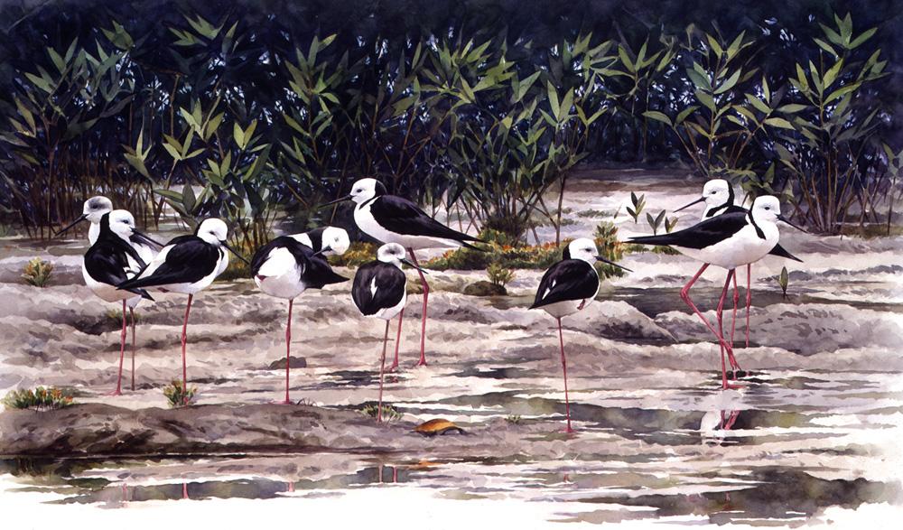 Pied Stilts by RobertMancini
