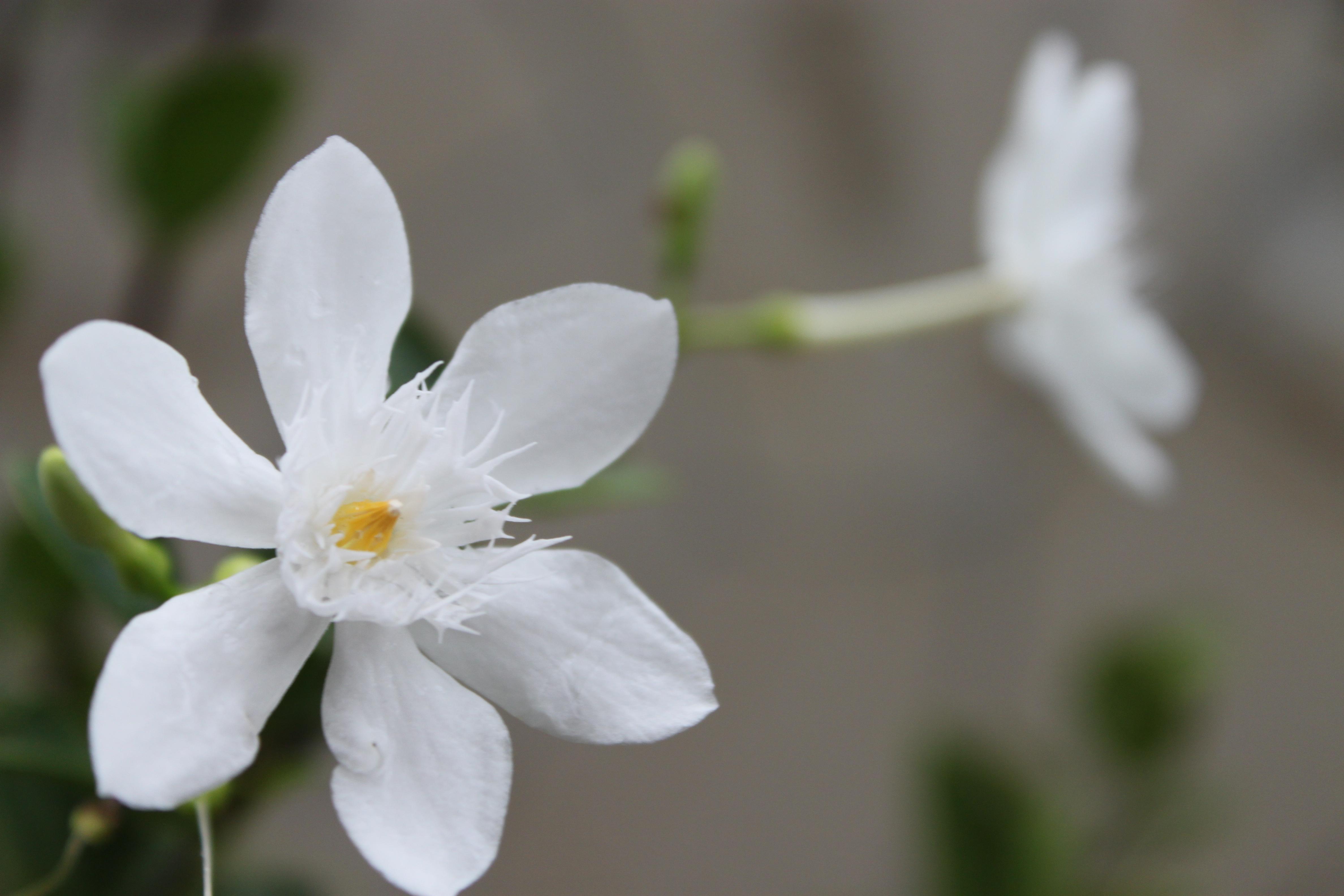 Jasmine flower 2 by tangerinemilk on DeviantArt