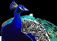 Pixel Peacock by Joserin